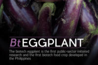 UPLB researchers develop insect-resistant Biotech Talong