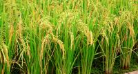 DA: The Philippines Could Be Self Sufficient In Rice Production By 2019